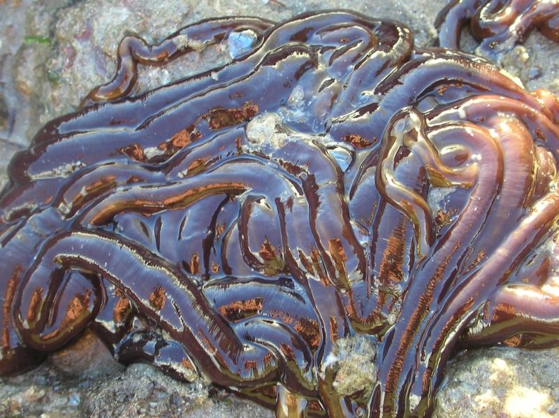 Lineus longissimus - самое длинное животное в мире