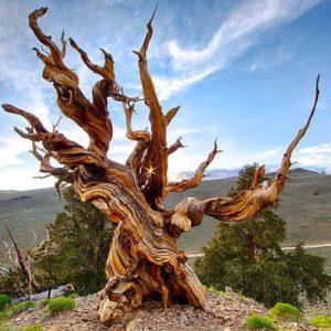 Дерево Мафусаил растёт на склоне горы