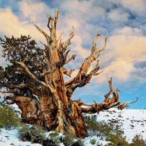 Дерево Мафусаил зимой