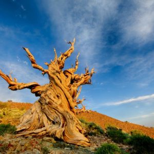 Какое самое старое дерево в мире
