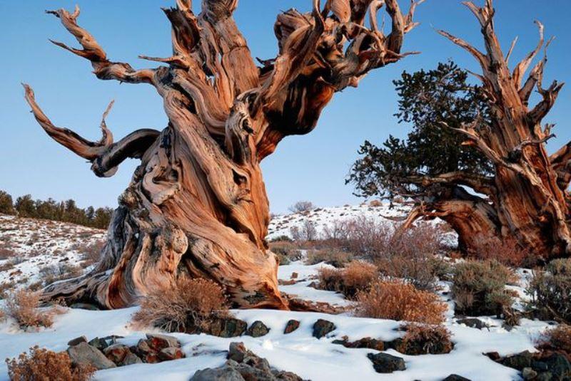 Фото Мафусаила зимой