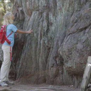 Самое старое дерево и турист