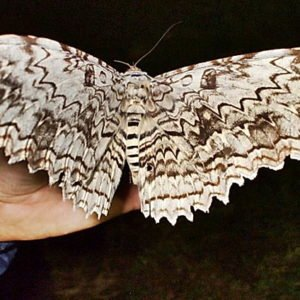 Самая большая в мире бабочка