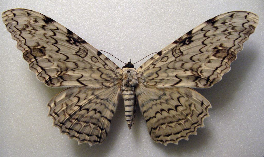 Окрасс бабочки агриппины