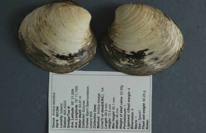 Раковина моллюска Мина