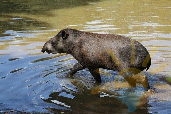 Топир в воде Амазонки