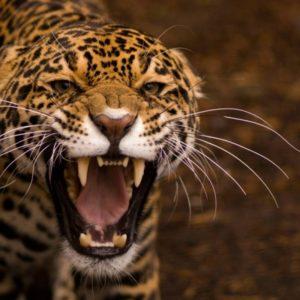 Ягуар на Амазонке