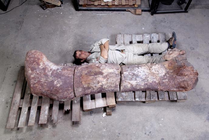 Бедренная кость динозавра по сравнению с человеком