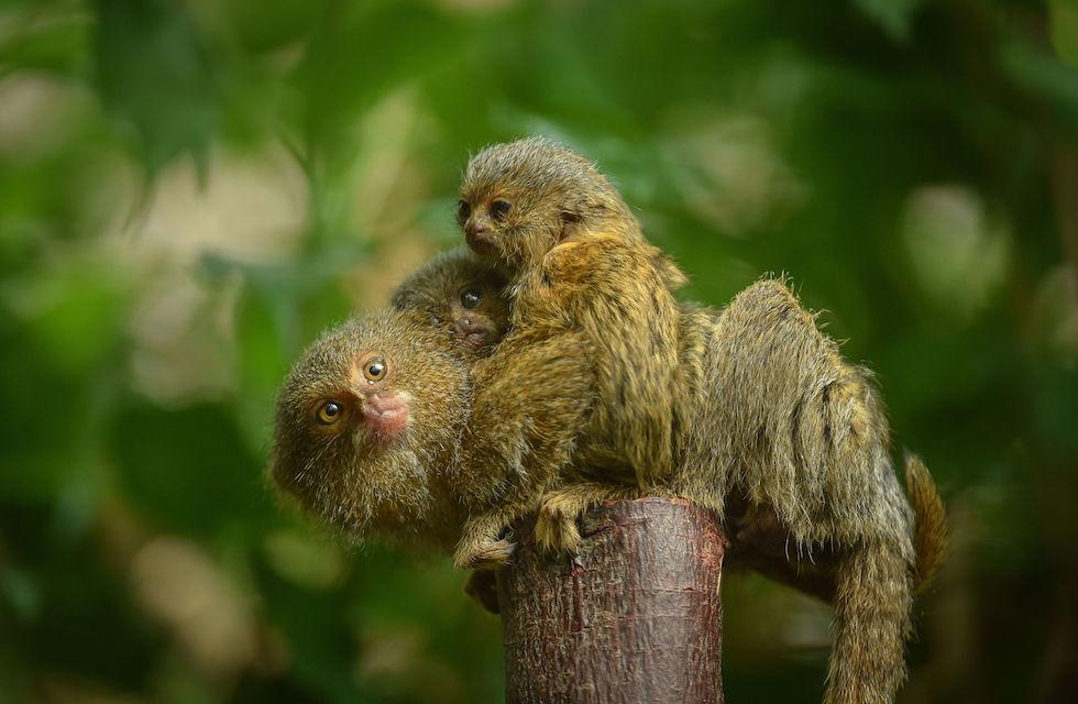 Карликовая игрунка — самая маленькая обезьяна на планете