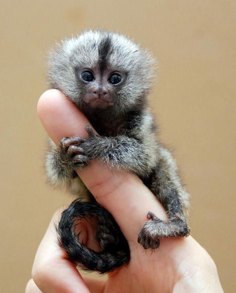 Самая маленькая в мире обезьяна